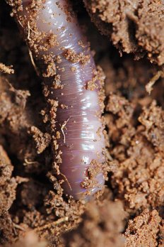 Earthworm in soil.  Image source:  Fir0002/Flagstaffotos via Wikimedia Commons