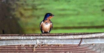 Blue barn swallow perched on piece of wood. Source: Daily Hampshire Gazette