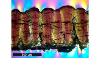 A dinosaur eggshell fossil in cross-section under a microscope using cross-polarizing light. Source: Yale University