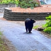 A Black bear takes a stroll along a gravel driveway and gardens in a front yard.