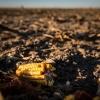Partial ear of dent corn lying in barren field.